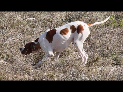 Pointer Hunter dog For sale in petsmart 03139393944 delivery all Pakistan Dog supplies online short