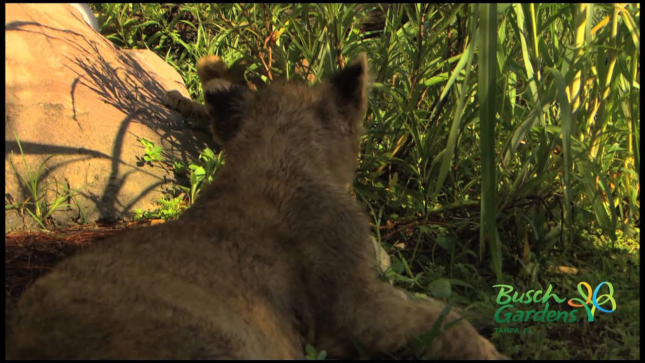 Three lion cubs play and explore the Edge of Africa Habitat at Busch ...