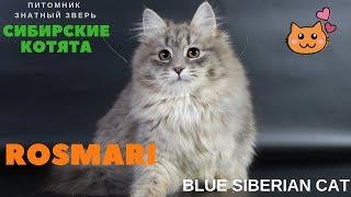 Siberian kitten,  name - Rosmari Znatniy Zver