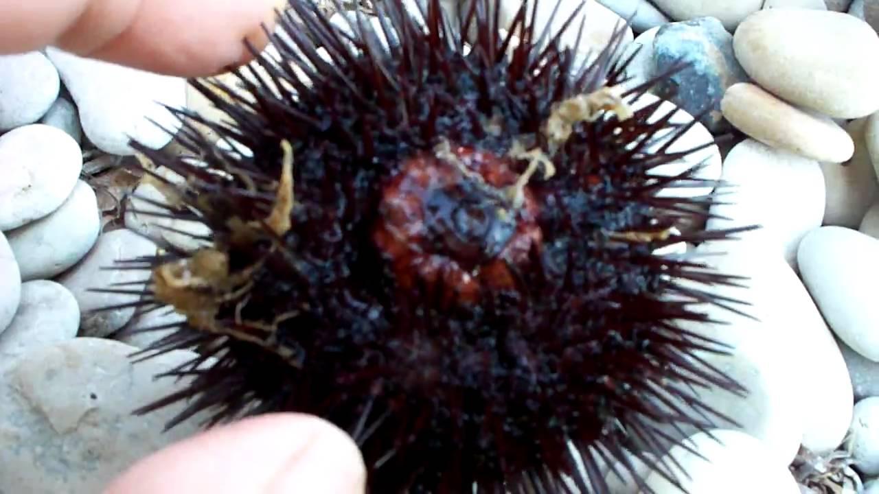 Sea Urchin - Aχινος - YouTube
