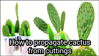 How to propagate cactus from cuttings: Opuntia Cactus