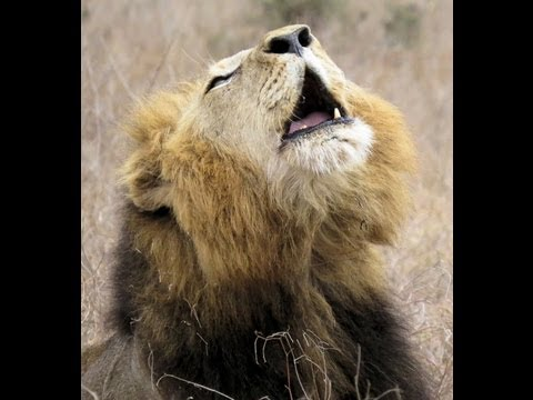 Lazy lion roar - YouTube - photo#20