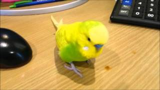 Arguing With A Grumpy Budgie - Pedro Video #30 | Liz Kreate