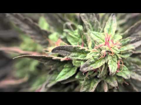Jorge Cervantes: Medical Marijuana Outdoor Gardens Tour - 10lb.+ MEGA Plants!!