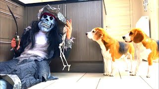 Funny Dogs Vs Zombie Pirate Prank : Louie & Marie The Beagles | Part 2