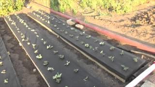 Тёплые грядки под клубнику.(Осень - самое время пересаживать клубнику. В этом году решил сажать по новому. Новые грядки - хороший урожай...., 2015-08-30T17:10:46.000Z)