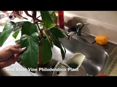 Cycle Of The Philodendron Update