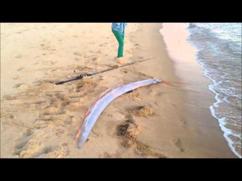 Oarfish caught alive