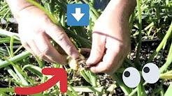 72 - Garden Pests - Onion Maggots
