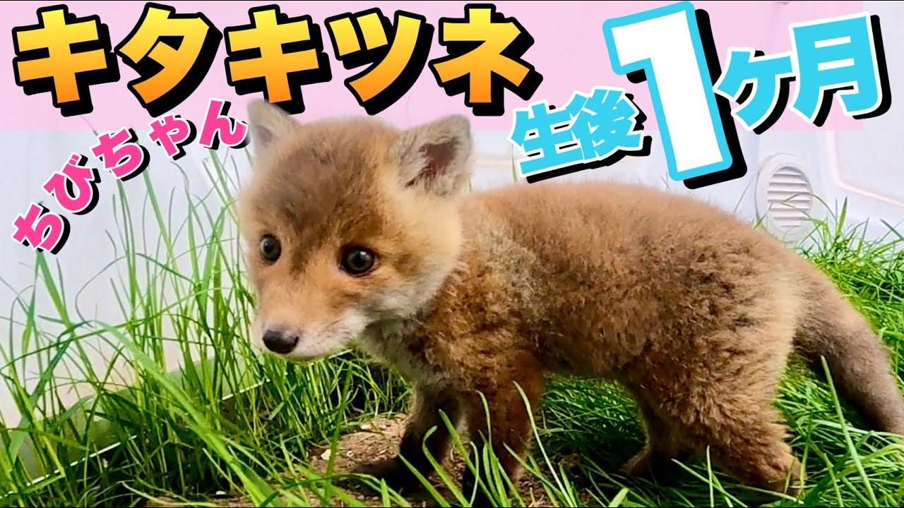 【生後1ヶ月】キツネの子どもが可愛すぎて悶絶www Cheerful and cute fox baby