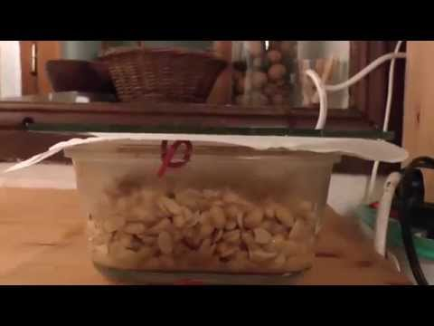 Natto maison (soja fermenté grace au riz complet bio)