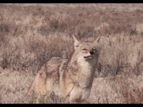 Coyote Hunting - A half day of Coyote Hunting with DECOY Dog ODIE - Coyote Assassins - Episode 29