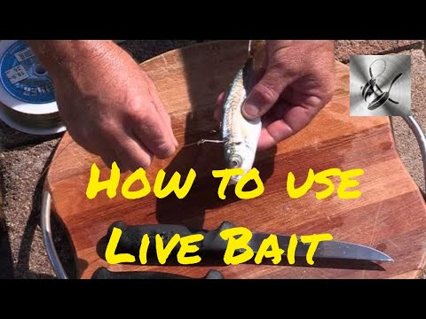How To Use Live Bait | The Hook And The Cook