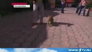 Камышевый кот дома