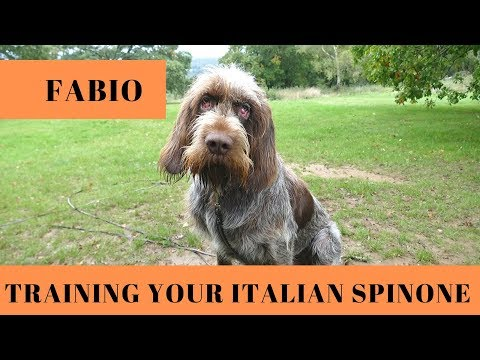 Fabio - Training Your Italian Spinone - 4 Weeks Residential Dog Training