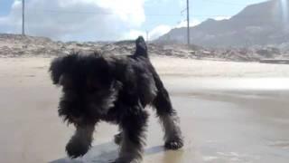Miniature Schnauzer Puppy Cape Town - Boo Boo