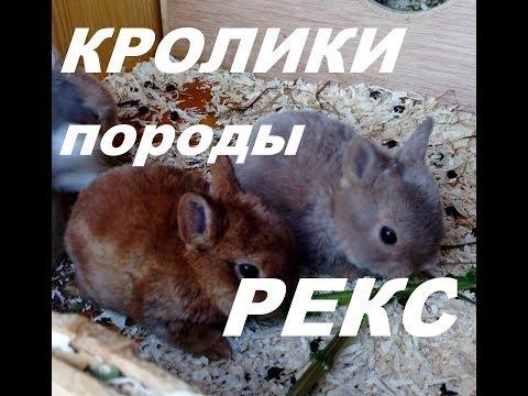 Крольчата породы рекс. Кролик карликовый баран. Кролиководство.