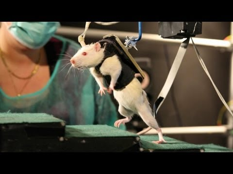 Paralysed Rats Made To Walk Again