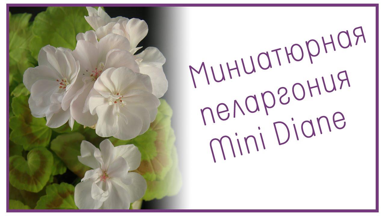 пеларгония фото и мини: