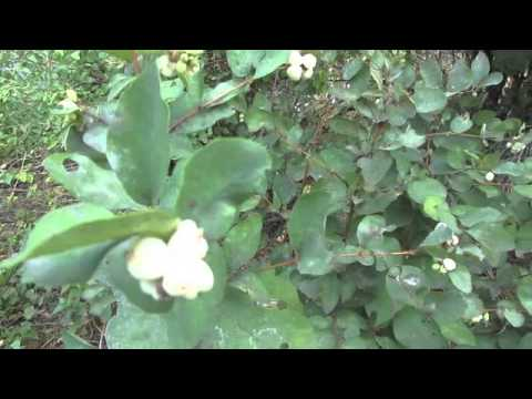 White Snow Berries Pacific Northwest Montana Wild Berries
