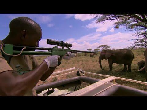Tranquillising Wild African Elephants - This Wild Life - BBC
