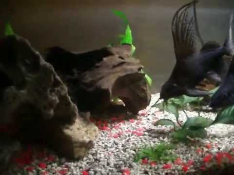 Feather Fin Synodontis Catfish from YouTube · Duration:  1 minutes 48 seconds  · 1,000+ views · uploaded on 9/26/2008 · uploaded by Jesse Camacho