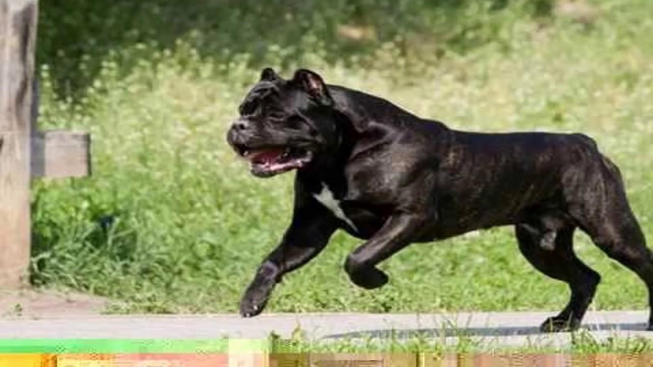 P De Perros Cane Corso Mascota O No Youtube