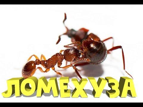 ПОЙМАЛ ЖУКА ЛОМЕХУЗА(подсадил к колонии муравьёв)