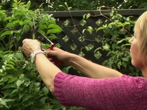 how-to-grow-your-own-clematis