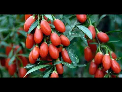 Как выглядят ягоды годжи