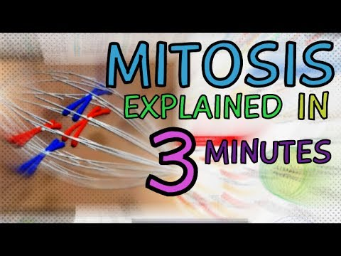 mitosis-(cell-division)-in-3-minutes---stages:-prophase,-prometaphase-metaphase-anaphase-telophase