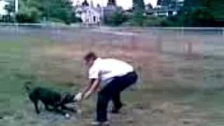Pittbull X Bulldog Lock Jaw On Soccer Ball