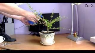 Как стричь бонсай (карликовое дерево) \ How to trim bonsai 盆栽(VK - http://vk.com/zorxstar Instagram - http://instagram.com/zorx_star Twitter - https://twitter.com/ZorXFFW Facebook ..., 2014-07-06T14:55:18.000Z)