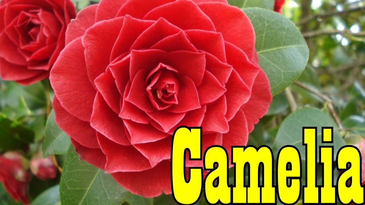 mondini plantas como cultivar camelia youtube