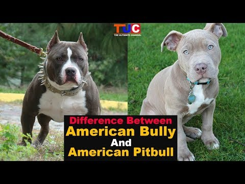 Difference Between American Bully And American Pitbull : TUC