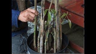 Indahnya Berbagi Part 43 Cara Baru Stek Grouping Mangga, Leci