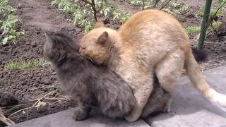 Как размножаются коты и кошки животные ?