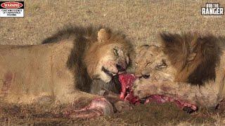 Lions With A Gnu Breakfast   Maasai Mara Safari Sighting