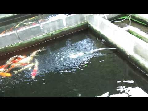 ระบบกรอง บ่อปลาคาร์ฟ ทศฟาร์ม