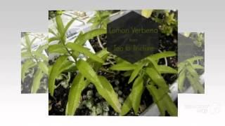 Aloysia - garden plants