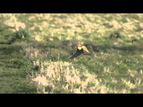 Stunning Capture Of A Weasel Riding On A Woodpecker's Back - ITV News - 3rd March 2015