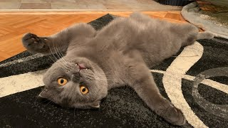 Funny scottish fold cat relaxes