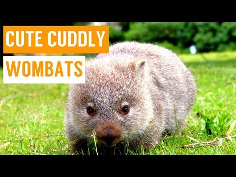 Cuddly Baby Wombat Compilation