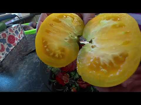 Обзор томатов. Жёлтые и оранжевые сорта | оранжевые | помидоры | томатов | лучшие | желтые | сорта | обзор | т