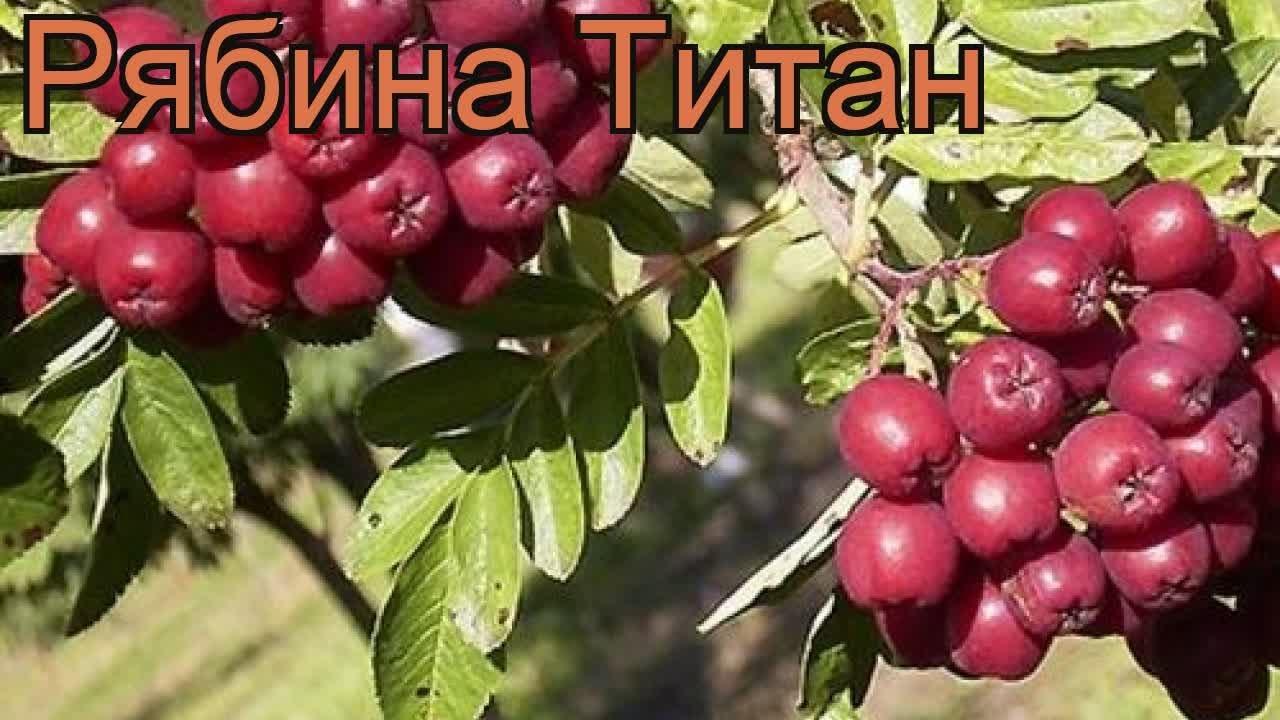 рябина красная титан описание сорта фото