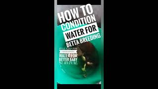 How TO CONDITION WATER FOR BETTA BREEDING. TIPS FOR GROWTH OF INFOSORIA IN BREEDING TANKS. Bettatank