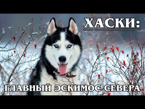 СИБИРСКИЙ ХАСКИ: Самая быстрая ездовая порода собак | Интересные факты про животных | Породы собак