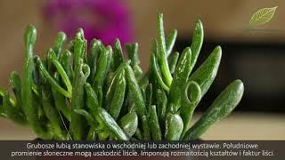 Sukulenty - uprawa i przydatne informacje - domowe rośliny doniczkowe