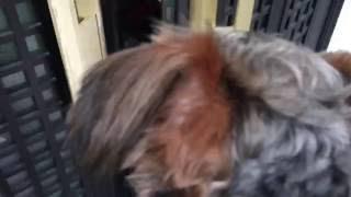 愛犬のラムを連れて実家へ行きました! 実家犬シェルティのココちゃんと...