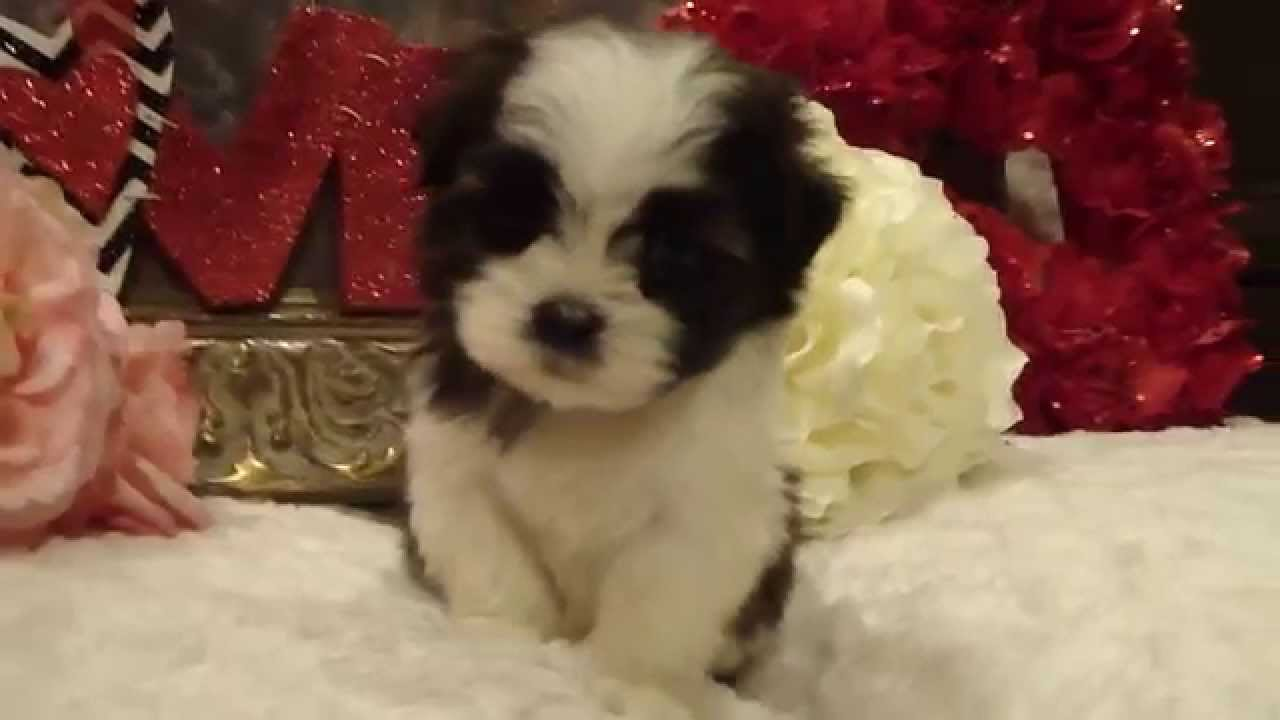 Hermes Male Shorkie Shih Tzu And Yorkie Mix Puppy Youtube